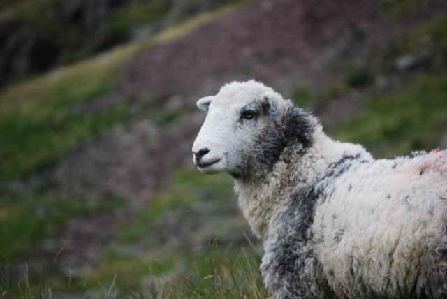 hill sheep wool